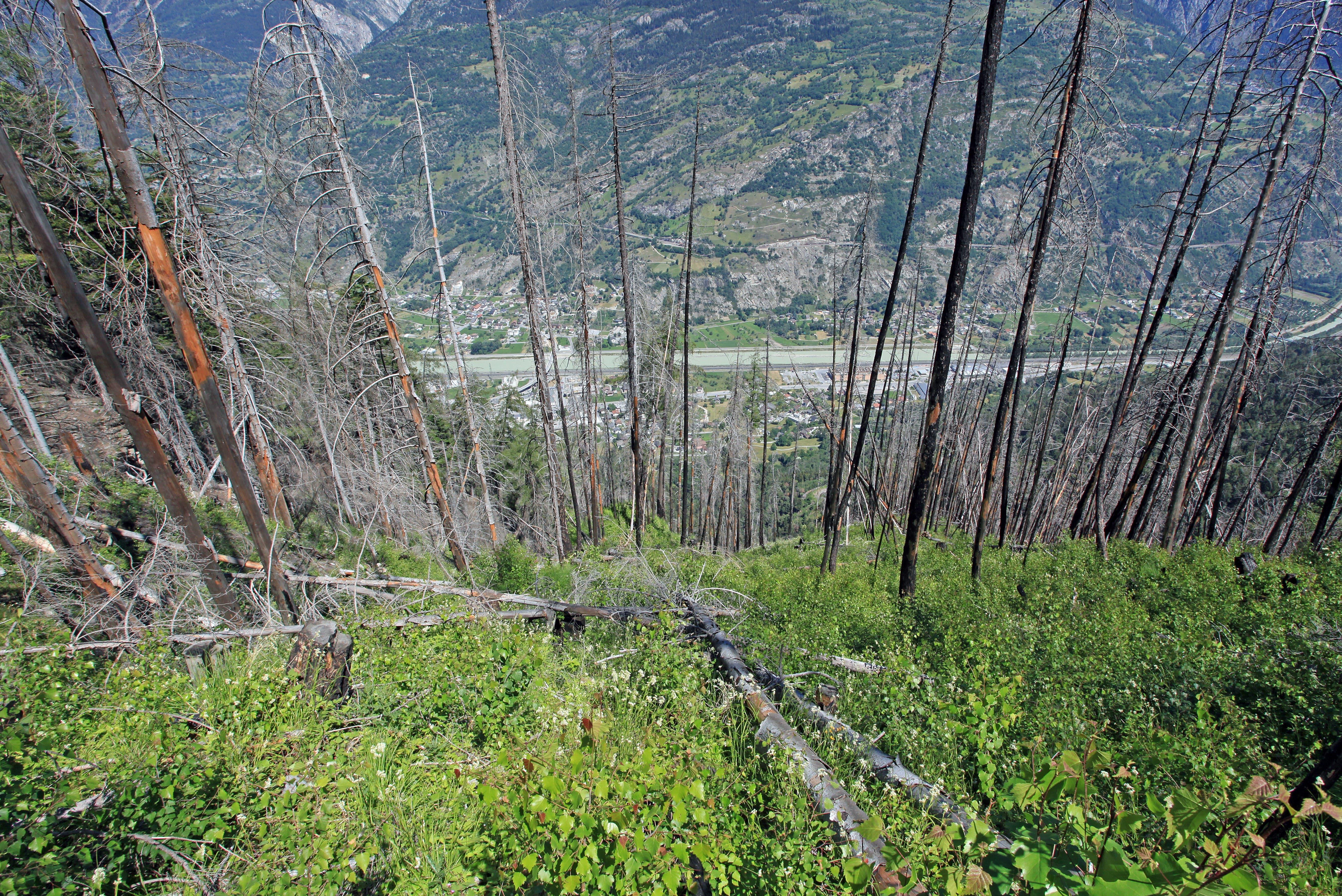 Tote Bäume im wieder grünen Waldboden. Unten das Rhonetal.