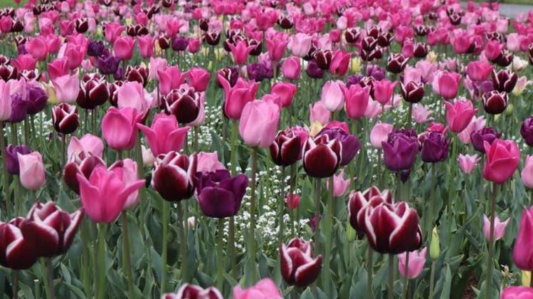 Tulpenfest in Morges feiert verspätet das 50. Jubiläum -145'000 Tulpen kann man hier bestaunen