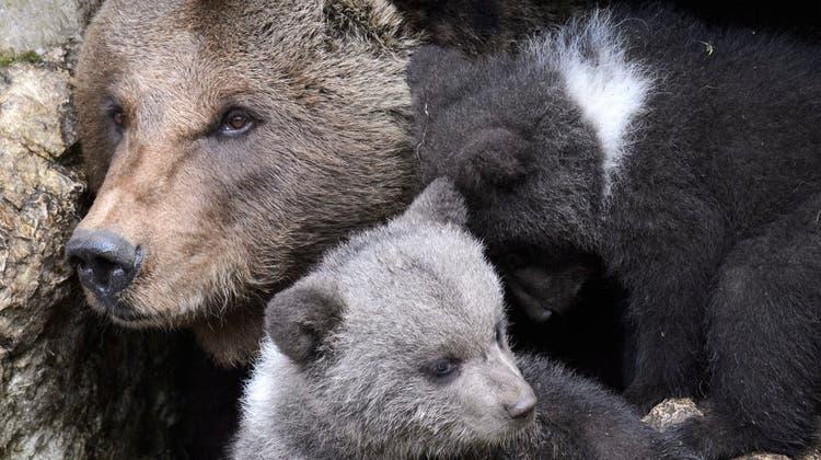 Der Juraparc im Waadtland wird im Zoobericht 2020 für die vorbildliche Haltung von Braunbären gelobt. (Keystone)