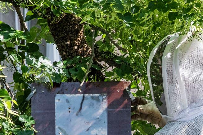 Ein Feuerwehrmann fängt einen Bienenschwarm ein, der sich hoch in einem Baum niedergelassen hat.