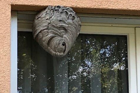 Wespen lassen sich gerne an Hausfassaden nieder. Dass ein Nest dort offen sichtbar hängt, ist selten. Oft wird es in Hohlräumen oder in Nischen versteckt gebaut.