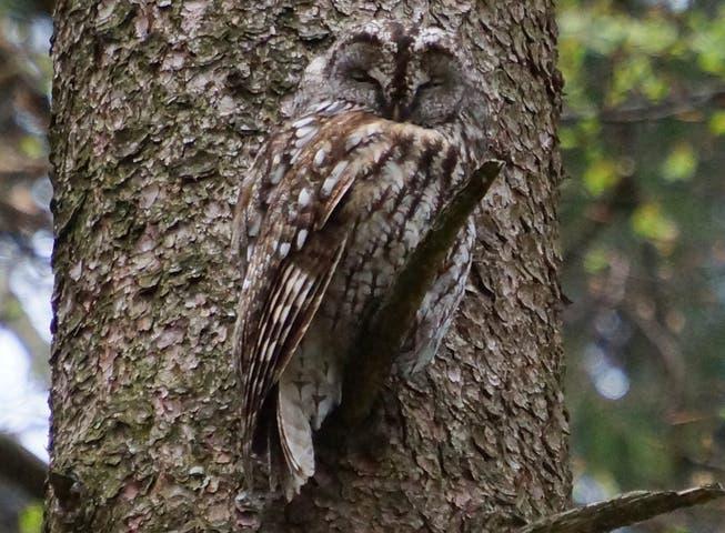 Leserbild. Ingrid Zürcher fotografierte den gut getarnten, aber noch etwas verschlafenen Waldkauz am Mittwochabend bei Abtwil.