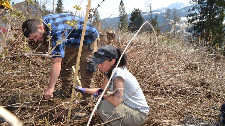 Das Loch der Pflanze anpassen: Zwischen Moos und Gamplüt pflanzten Spar-Mitarbeitende 150 Bäumchen