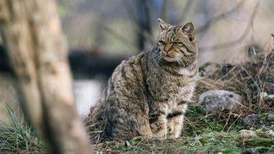 Eine Europäische Wildkatze im natur- und Tierpark Goldau. (Bild: PD)
