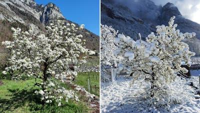 Am Ostermontag 15 Grad, tags darauf -2 Grad: Wie diesem Birnbaum im Sarganserland geht es derzeit zahlreichen Obstbäumen in der Schweiz. (MeteoNews/Twitter)
