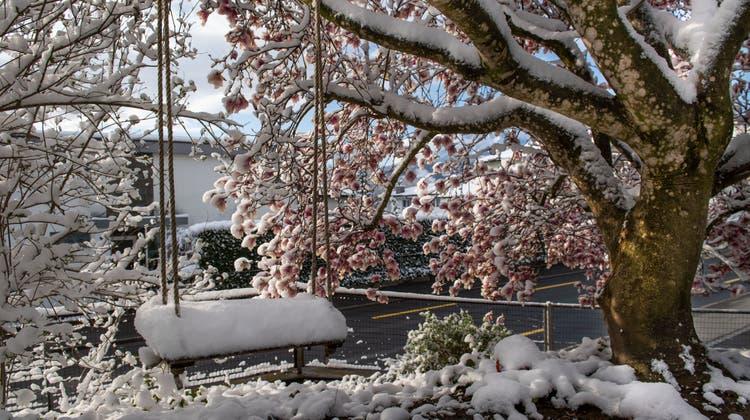 Der Winter ist zurück. Der blühende Magnolienbaum ist eingeschneit. (Eveline Beerkircher)