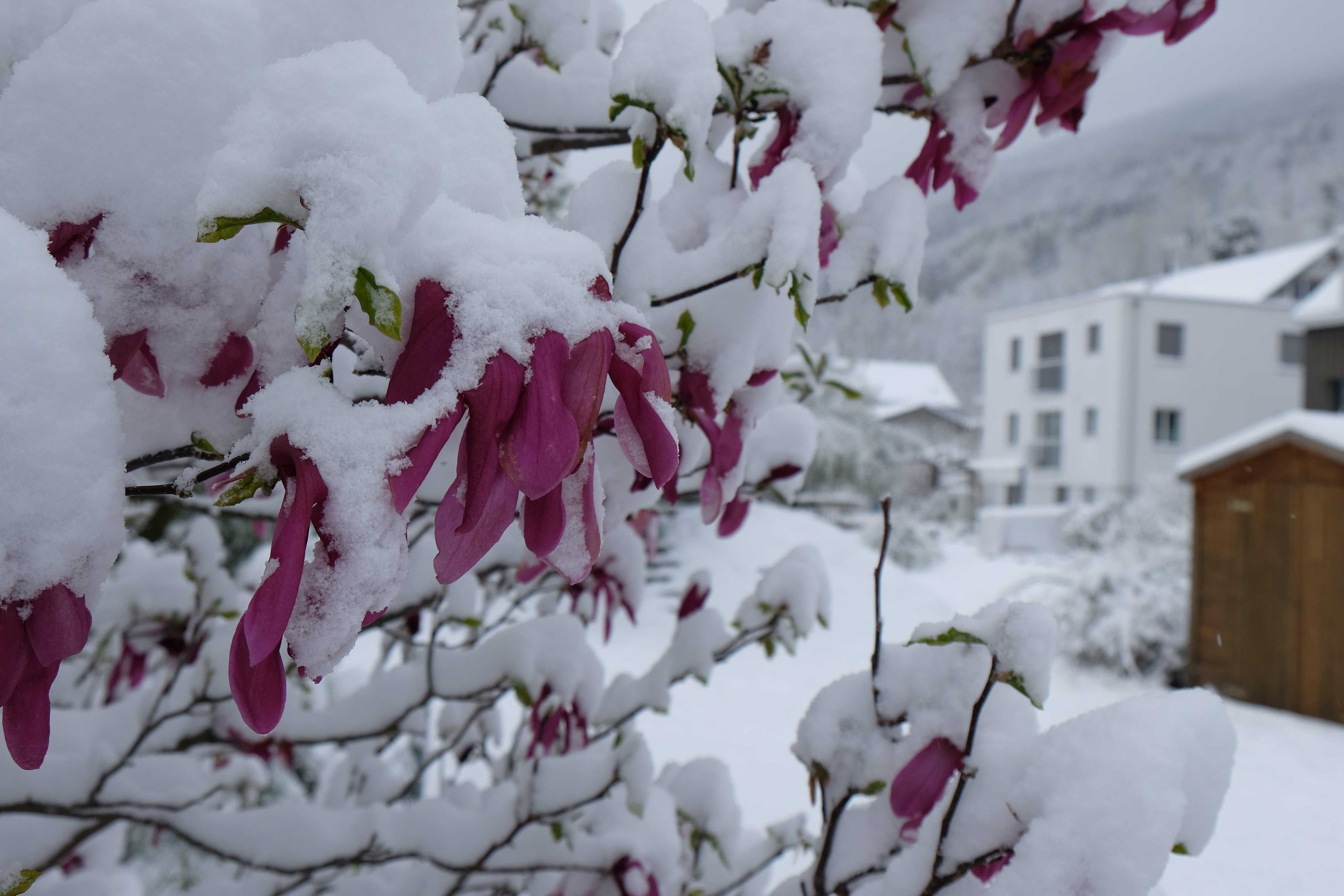 Ob dieser Oleander den erneuten Wintereinbruch überlebt?