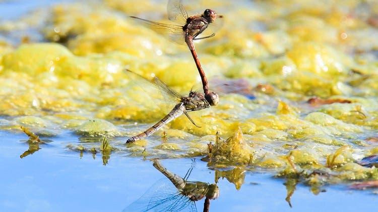 Libellenarten sind in der Schweiz besonders durch den Verlust und die Verschmutzung ihrer Lebensräume bedroht. (Keystone)