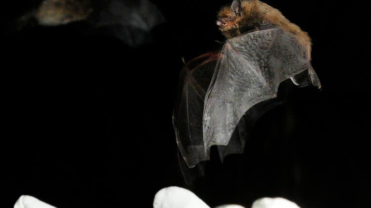 Fledermäuse nisten sich auch gerne in Städten ein. (Keystone)