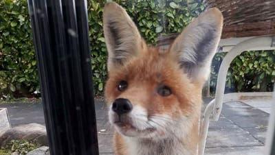 Neugierig schaut der zutrauliche Fuchs von der Terrasse in die gute Stube. Wenn Füchse gefüttert werden, kommen sie den Menschen sehr nah. Dieser gesunde Fuchs ist in Bissegg unterwegs. (Bild: zVg)
