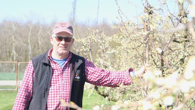 Viele der Blüten auf der Zwetschgenplantage von Christoph Müller in Schupfart haben Frostschäden erfahren. (Bild: Dennis Kalt / Aargauer Zeitung)