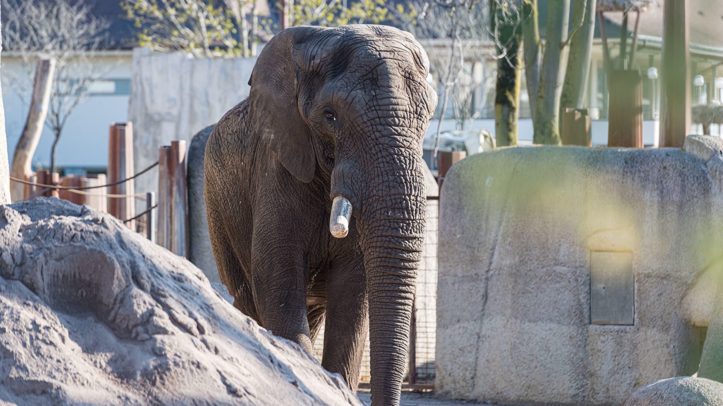 Am 7. April kam der Elefantenbulle Jack in Basel an.