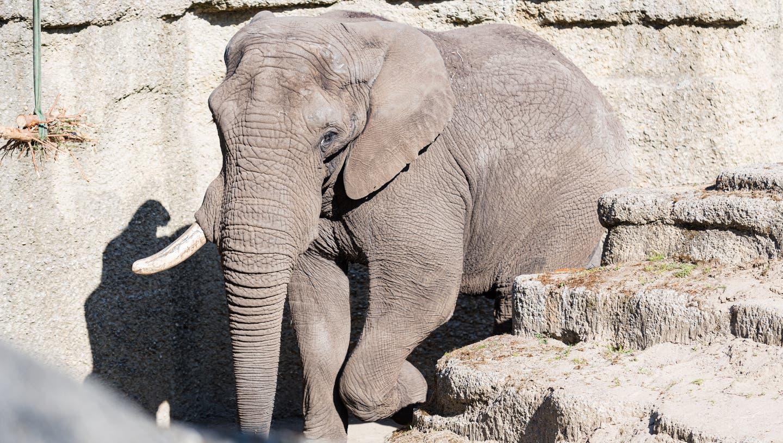 Elefantenbulle Tuskersoll im Basler Zolli für Nachwuchs sorgen