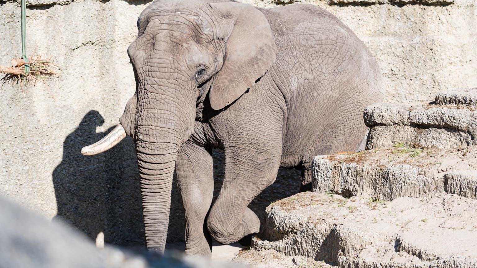 Elefantenbulle Tusker soll im Basler Zolli für Nachwuchs sorgen