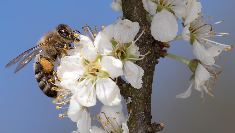 Nektar sammeln und gleichzeitig Blüten bestäuben - eine WinWin-Situation. (Bild: Bruno Schuler (Buochs, 8. April 2021))