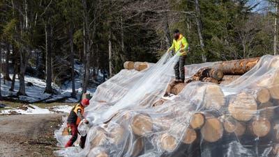 Statt mit Chemie werden die Stämme mit Essigfliegennetzen geschützt. (Bild: Matthias Jurt (Oberägeri, 9. April 2021))