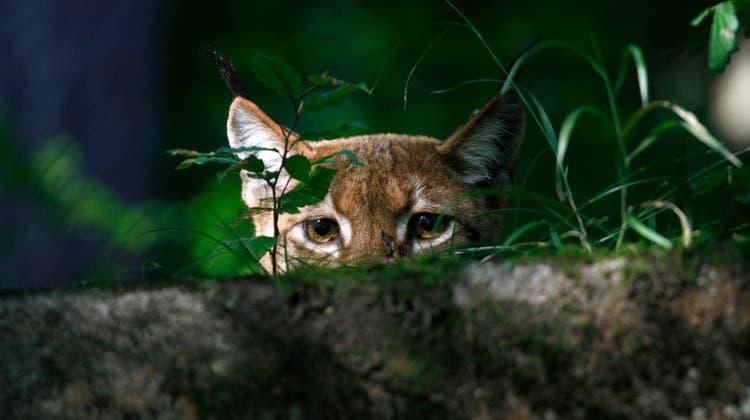 Der Luchs ist schon seit langem zurück im Kanton, für die nächste Pachtperiode der Jagdreviere 2021–2028 wird der Luchs als «wertvermindernder Faktor» einbezogen. (Bild: Zvg)