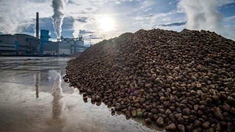 Auch die Zuckerfabriken Frauenfeld und Aarberg spüren, dass weniger Zuckerrüben angebaut werden. (Reto Martin)