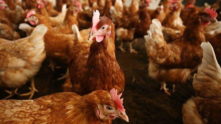 Bei mehreren Geflügelhaltern in Deutschland wurde die Vogelgrippe nachgewiesen. (Symbolbild) (Foto: Keystone)