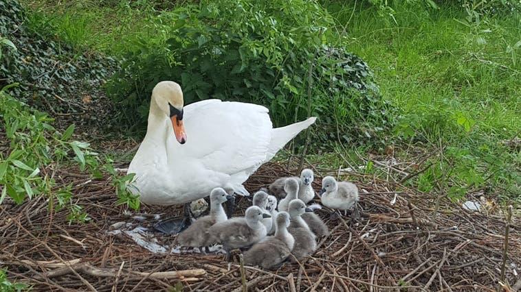 Die Schwanenfamilie am Philosophenweg mit neun Küken. (Nadja Rohner)