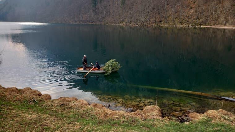 Die Fischereiverwaltung versenkt Bäumchen im Seelisbergersee zur Verbesserung des Egli-Aufkommens. (Bild: PD)