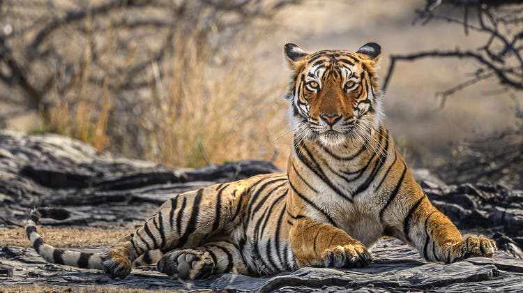 Majestätisch und bedroht: Tiger. (Rudolf Hug)