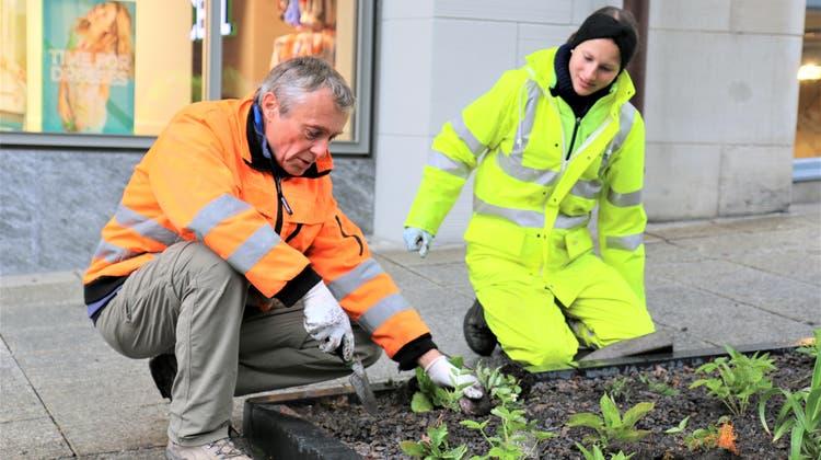 Der Forscher Axel Heinrich und Gärtnerin Monja Böni pflanzen Setzlinge in einer Ahornrabatte in der Oberen Bahnhofstrasse. (Bild: Pablo Rohner)