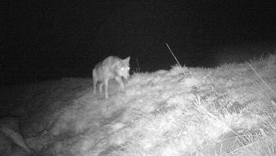 Die Fotofalle eines Wildhüters zeigt den Wolf in der Nähe einer toten Hirschkuh, die er vergangene Woche mutmasslich gerissen hat. (Bild: PD)