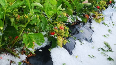 Der Hagel fiel am Mittwoch auf das Erdbeerfeld von Bauer Aldo Mann in der Selzacher Witi. (zvg)