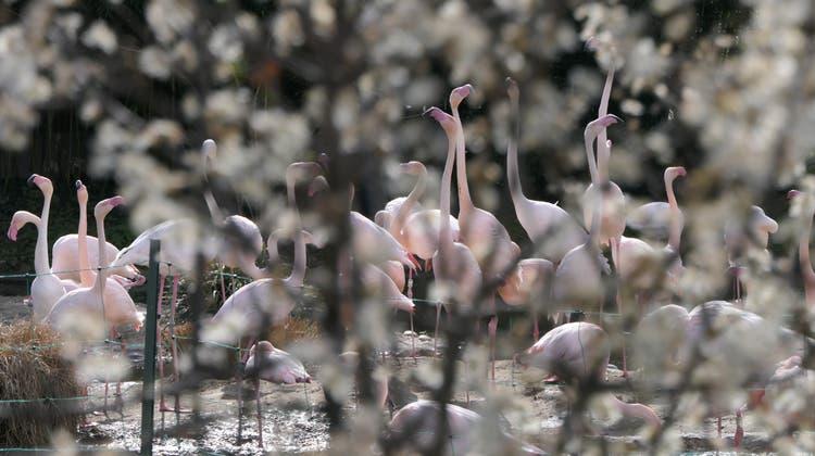 Hier war noch alles in Ordnung: Die Flamingo im Zoo Basel geniessen das angenehme Wetter. (zVg/Madeleine Freudemann)