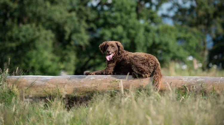 Seelisberg will die Hundetaxengebühr auf 75 Franken erhöhen. (Themenbild: Pius Amrein (5. Juli 2016))