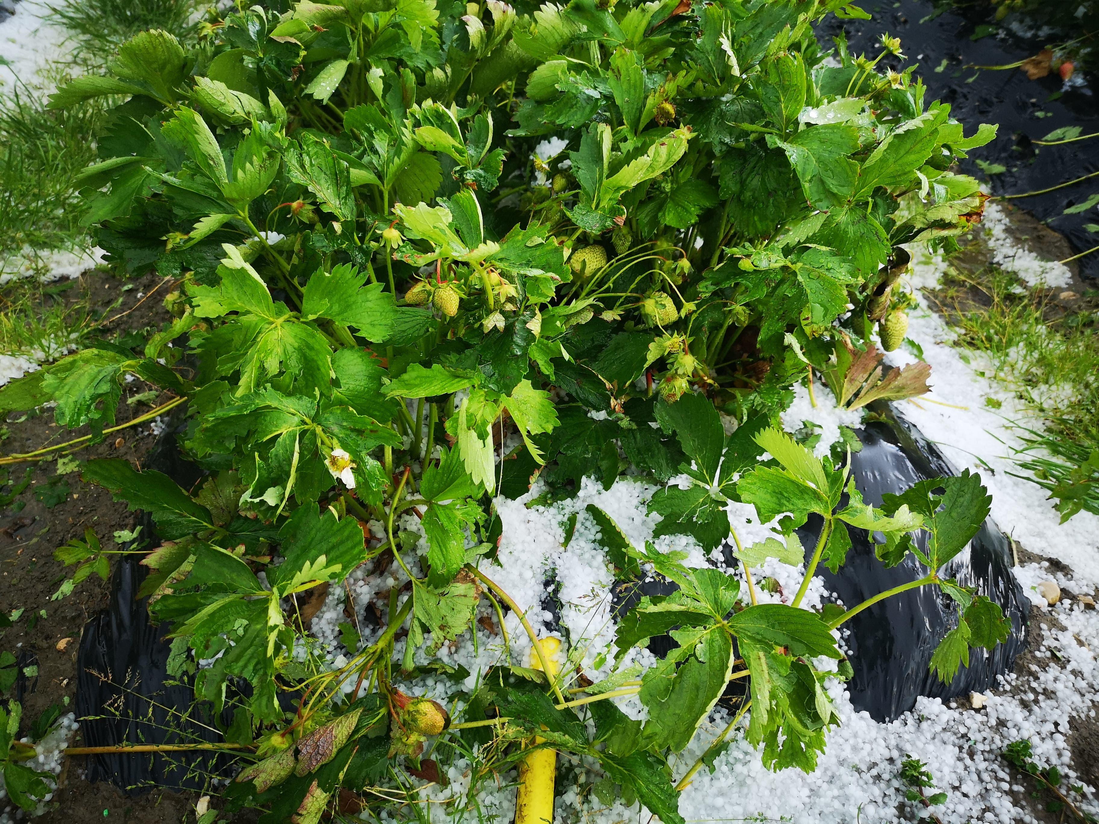 Die Erdbeeren wurden von den Hagelkörnern getroffen.