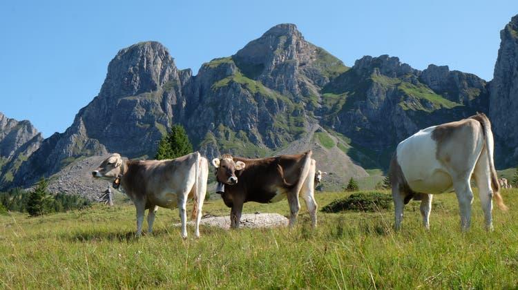 Noch müssen sich die Kühe gedulden: Auf einigen Alpen liegt derzeit noch Schnee. (Bild: Heini Schwendener)