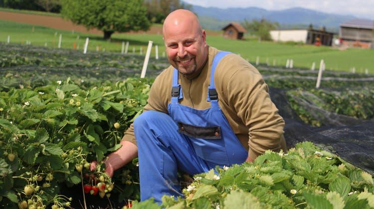 Aufgrund der langanhaltenden Schlechtwetterphase brauchen die Erdbeeren– wie bei Beat Mahrer in Möhlin– länger bis zur Reife. (Dennis Kalt / Aargauer Zeitung)