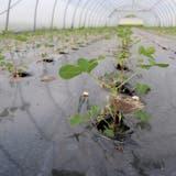 Kultiviert werden die Erdnüsse in zwei Kalttunnels auf einer eher – noch – kleinen Fläche von rund 12 Aren. (Bild: zvg /Max Schwarz AG)