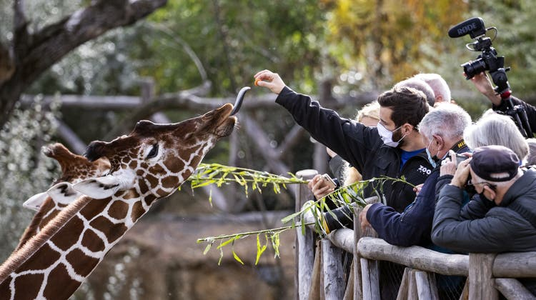 Giraffen werden gefüttert in der Lewa Savanne im Zoo Zürich. Die Giraffe ist mit bis zu sechs Metern Höhe das höchste Säugetier der Welt. (Alexandra Wey / Keystone)