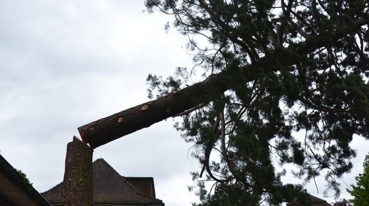 Das Ende eines 150-jährigen Baumes. Der Mammutbaum im Moment der Fällung. (Fabio Vonarburg)