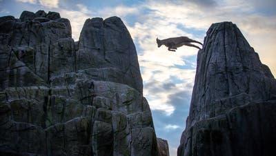 St.Gallen kann es: Ein junger Steinbock wagt den grossen Sprung von Fels zu Fels im Wildpark Peter und Paul. (Bild: Raphael Rohner)