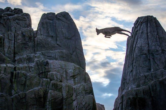 St.Gallen kann es: Ein junger Steinbock wagt den grossen Sprung von Fels zu Fels im Wildpark Peter und Paul.