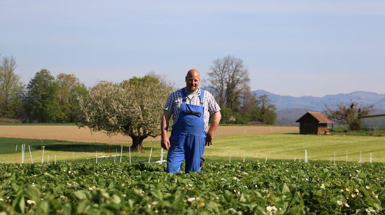 Beat Mahrer rechnet damit, in drei Wochen die Selbstpflücksaison auf seinem Erdbeerfeld in Möhlin einzuläuten. (Bild: Dennis Kalt / «Aargauer Zeitung»)