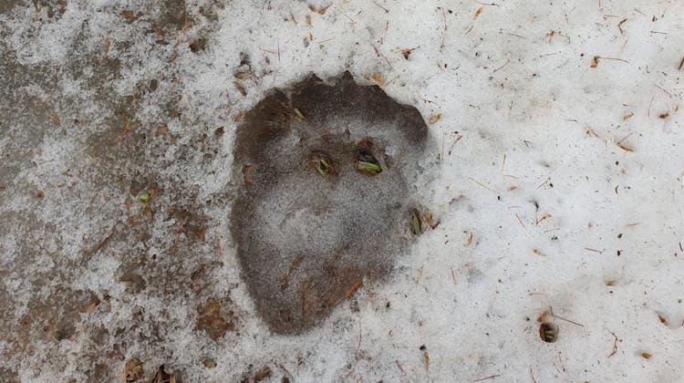 Spuren im Schnee bestätigen die Anwesenheit des Bären. (HO/Kanton Graubünden)