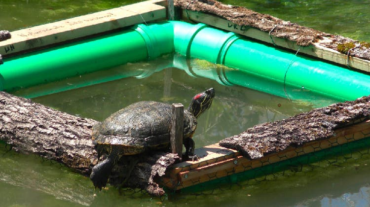Seit 2008 verboten: DieRotwangen-Schmuckschildkröte, wie jene im Würenlinger Dorfbach, gehören nicht in heimische Gewässer. (zvg/Markus Schneider)