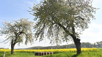 Bienenkästen zwischen zwei Kirschbäumen vor einem Rapsfeld: So wünschen sich viele Konsumenten ihre Landwirtschaft. (Bild: Bruno Kissling)