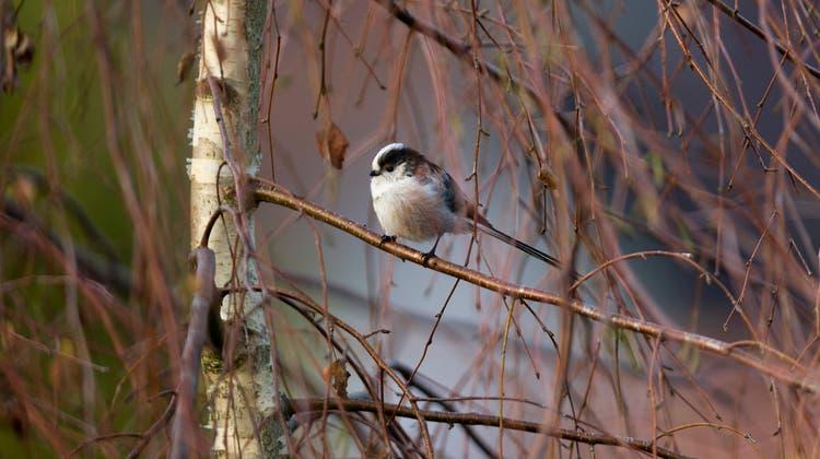 BirdLife ruft die Bevölkerung dazu auf, sich eine Stunde hinzusetzen und Vögel zu beobachten. (Keystone)