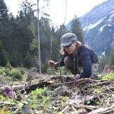 Ahorn und Erlen werden im Raum Voralp angepflanzt und danach mit einem Gitter vor Wildschäden geschützt. (Bilder: Heini Schwendener)
