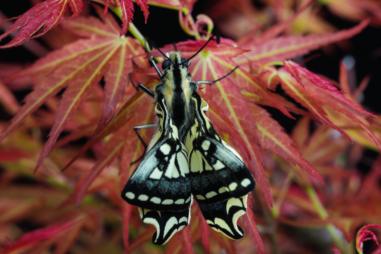 Kaum geschlüpft und schon versucht dieser junge Schwalbenschwanz Schmetterlinge seine noch kurzen Flügel zu öffnen.