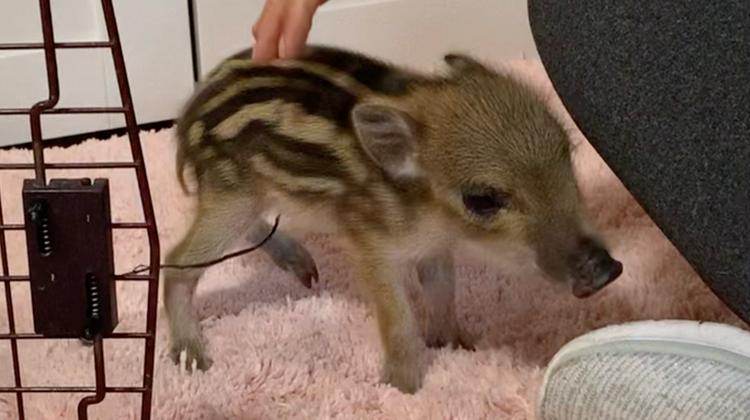 Das kleine Wildschwein Josie wurde im Tierligandenhof in Kaisten abgegeben; es darf nicht leben. (zvg / Aargauer Zeitung)