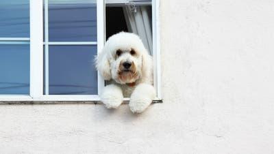 Darf er wirklich nicht raus? Der Tierschutzbeauftragte der Stadtpolizei geht entsprechenden Meldungen auf den Grund. (Bild: Getty)