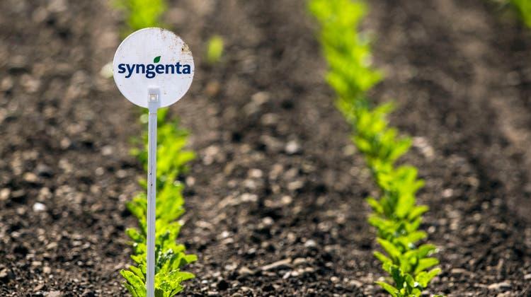 Ein Feld mit jungen Pflanzen, gezogen mit Saatgut des Agrochemiekonzerns Syngenta. (Bild: Patrick B. Krämer/KEY)