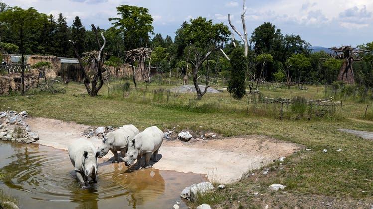 Rami gehört zu der Rasse der Breitmaulnashörner. Seit 2019 lebt er in der Lewa-Savanne im Zoo Zürich. (Enzo Franchini/Zoo Zürich)